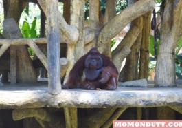 Joey the Orangutan