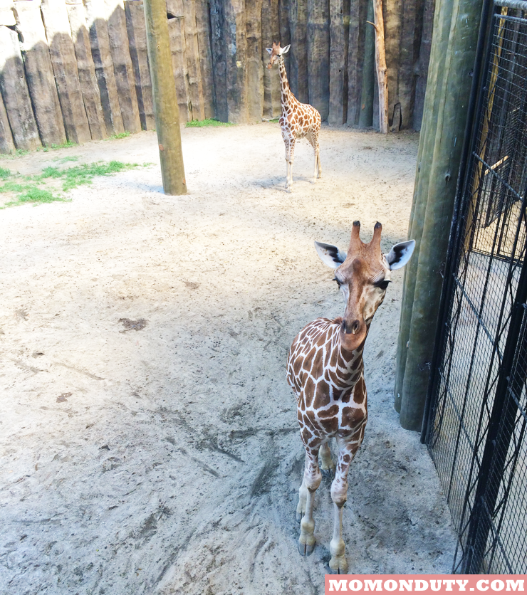 Giraffes at Avilon Zoo