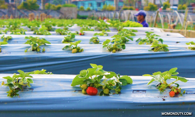 La Trinidad Strawberry Farm