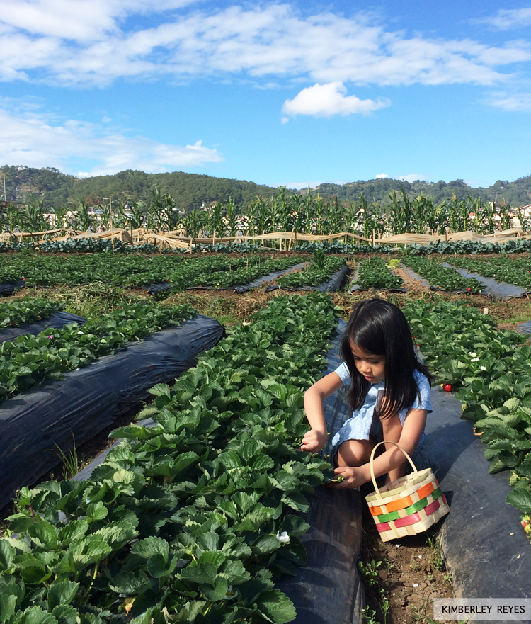 Strawberry picking at La Trinidad | momonduty.com